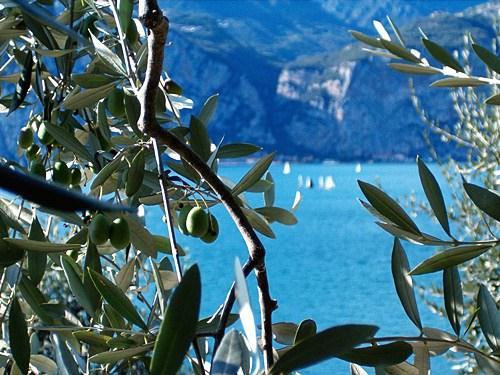Grünen Oliven mit in Hintergrund der Blaue Gardasee. Ein Blick aus dem Agriturismo Gardasee Uliveta