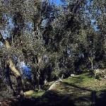 Die Olivenriviera in Brenzone am Gardasee